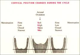 Position of Cervix during ovulation