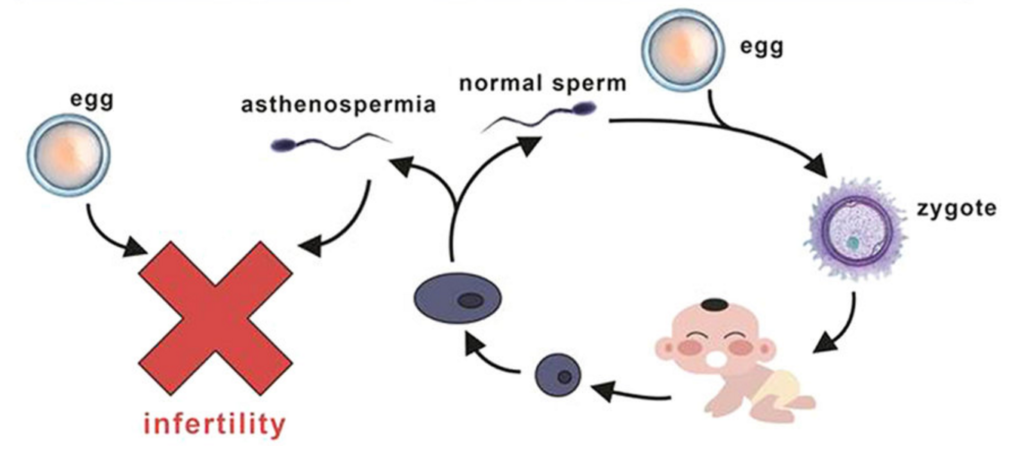 sperm motility and male fertility
